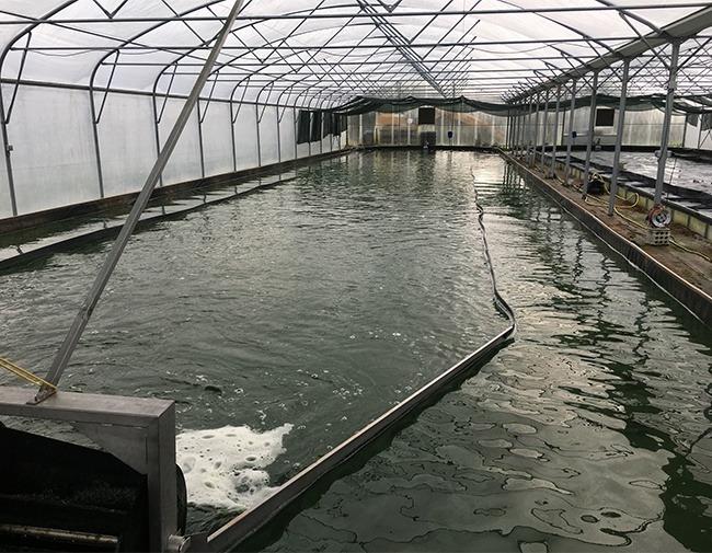 La Spiruline, une « algue verte » avec des vertus certaines